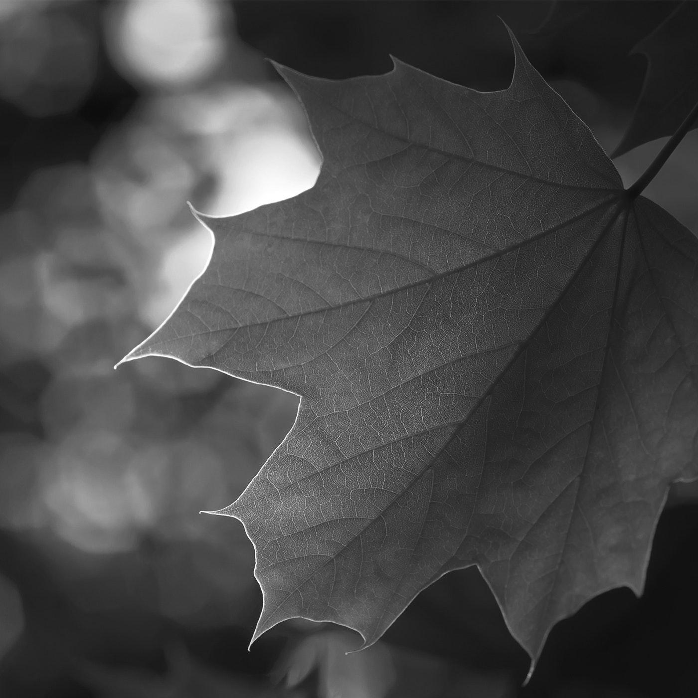 Maple Leaf Audio